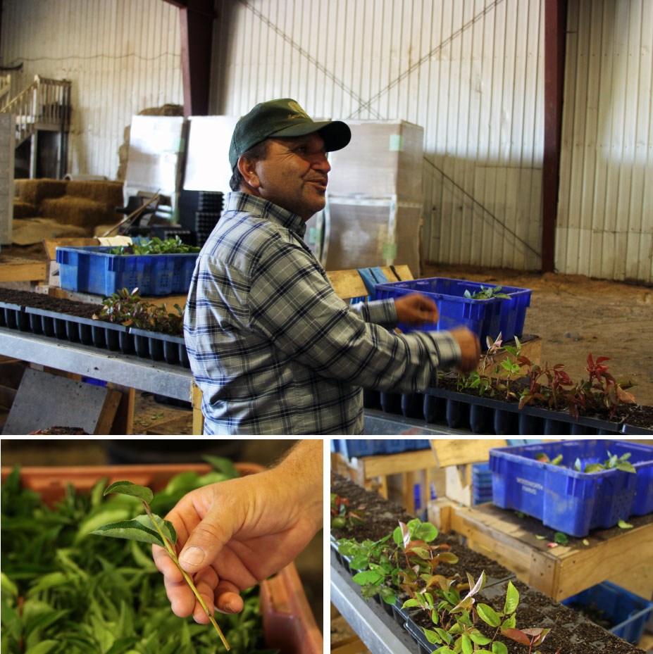 Sergio shows us the rose propagation area. All these cuttings are put into trays by hand!