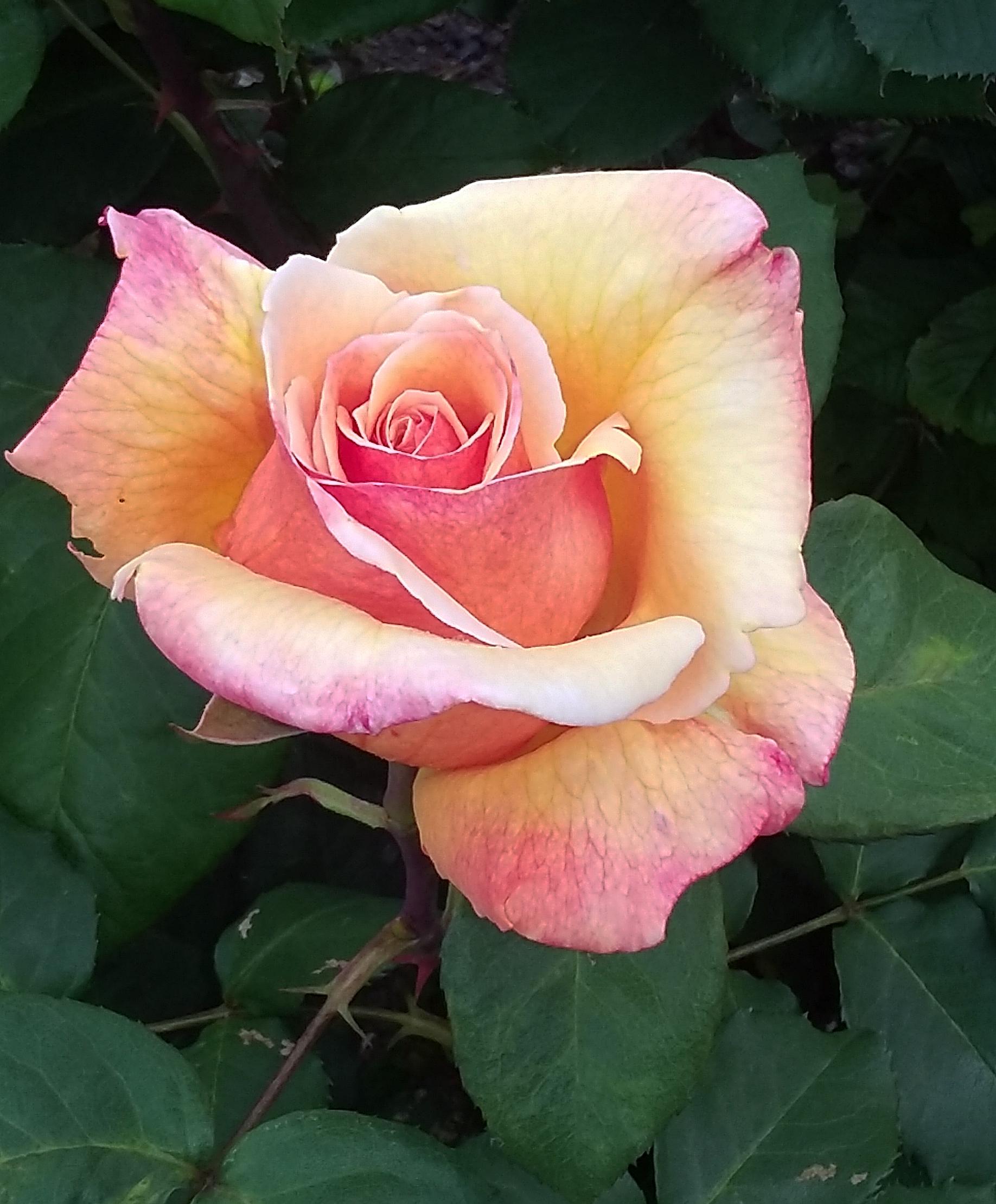 Tahitian Sunrise Rose