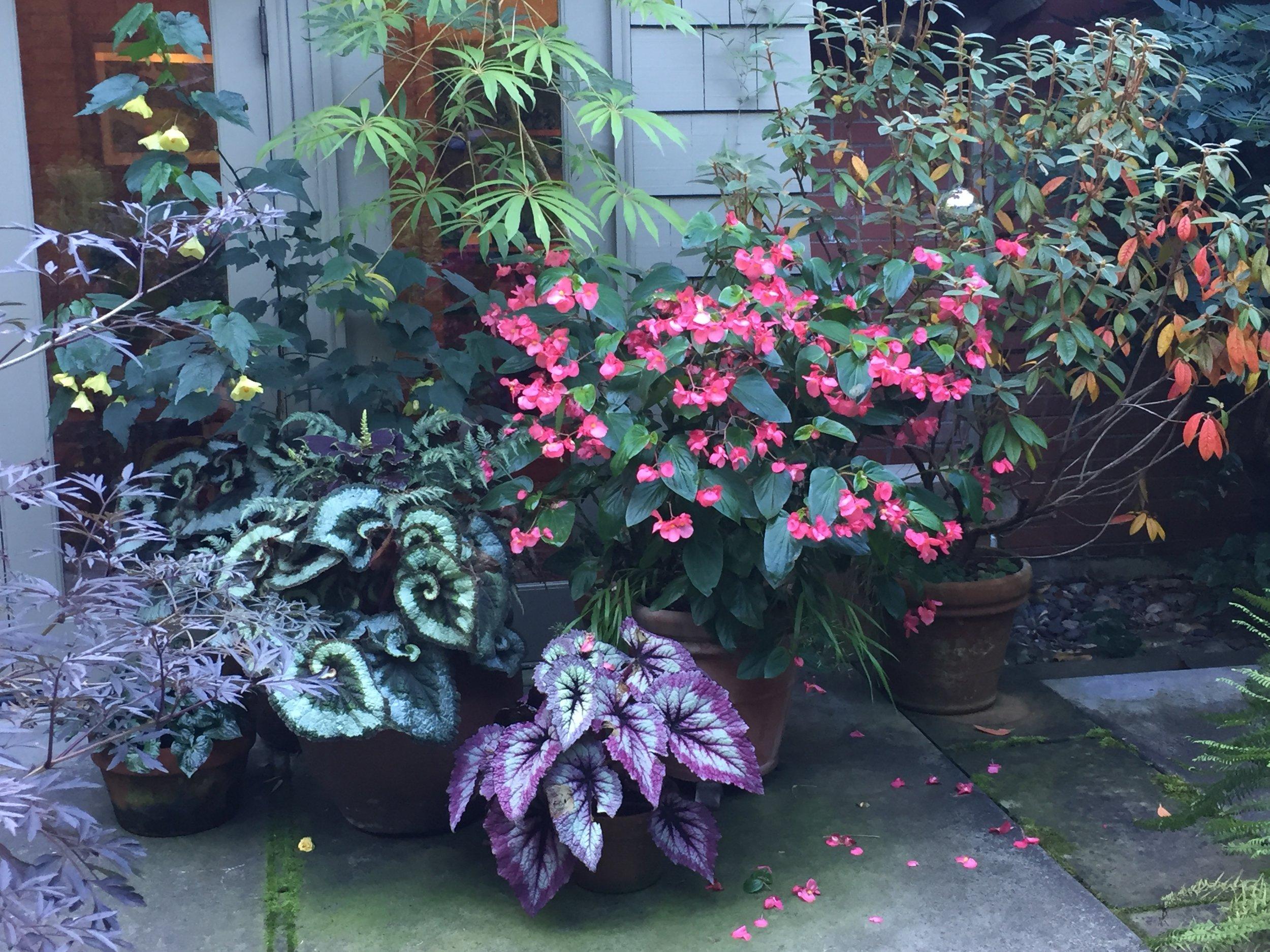 Captivating Begonias