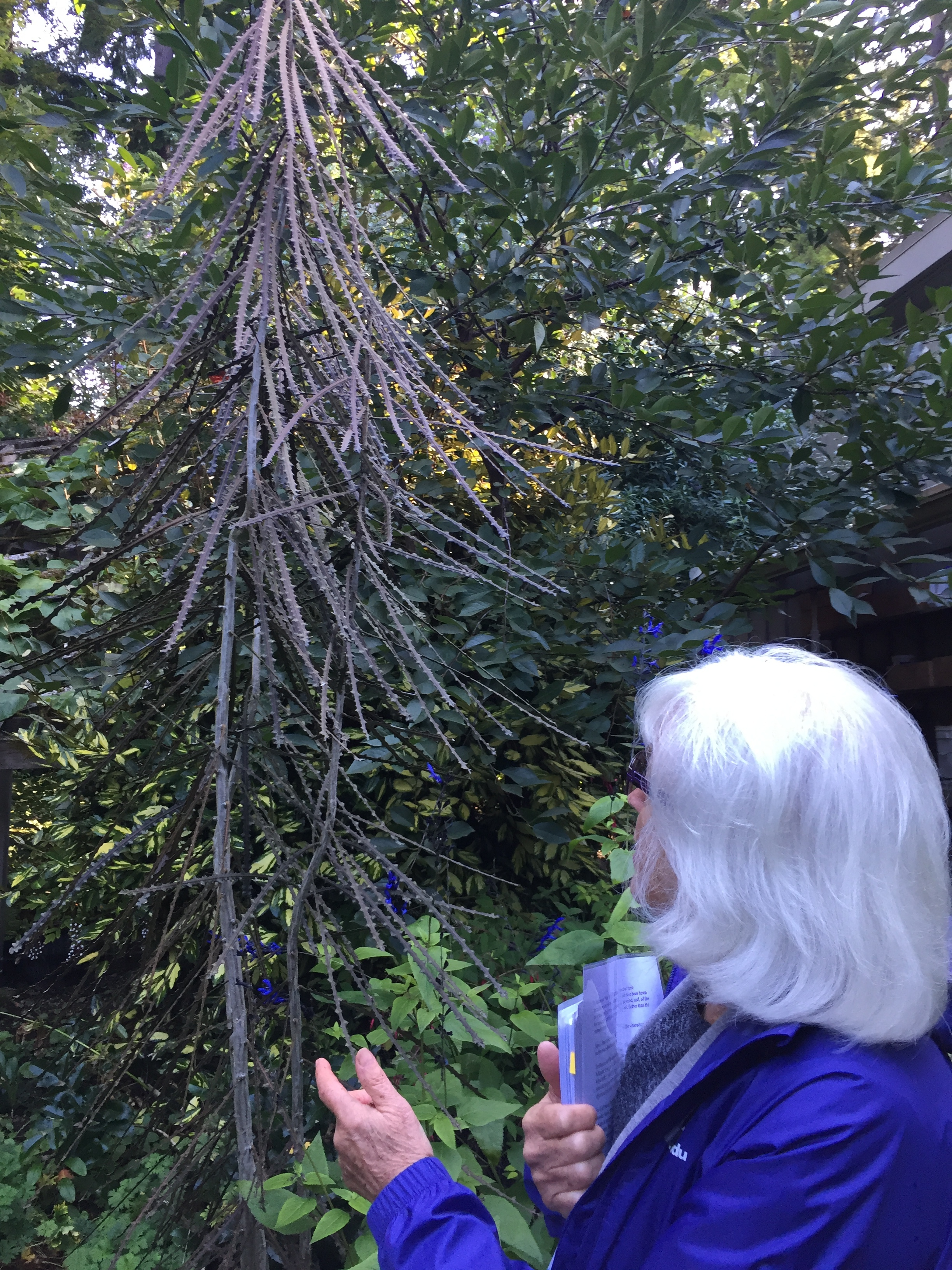 Beth Showing Us a Young Pseudopanax Ferox
