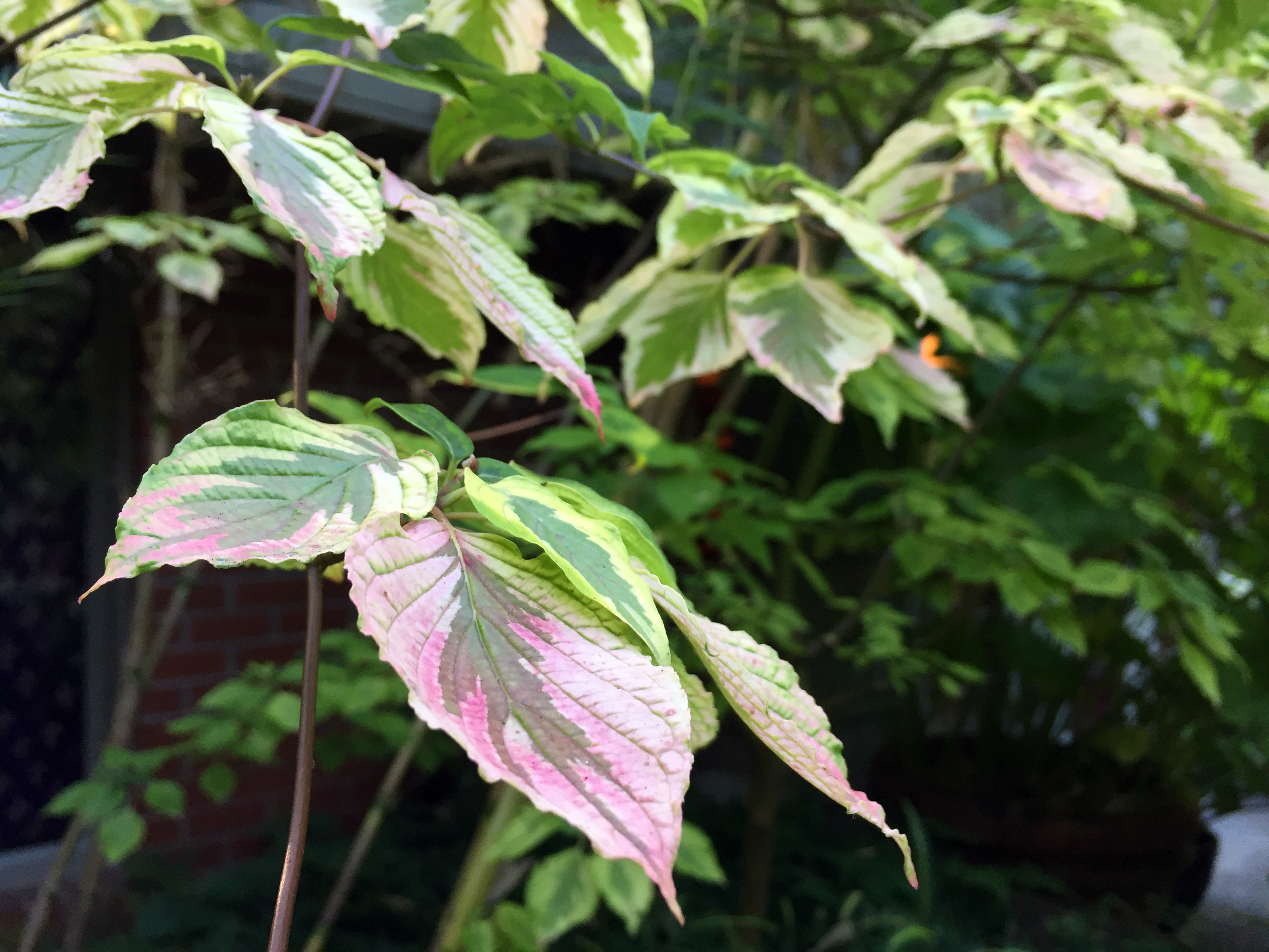 Pink-Tinged Dogwood Leaves