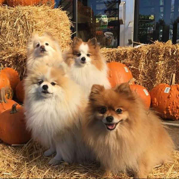 Pomeranian pumpkin party*