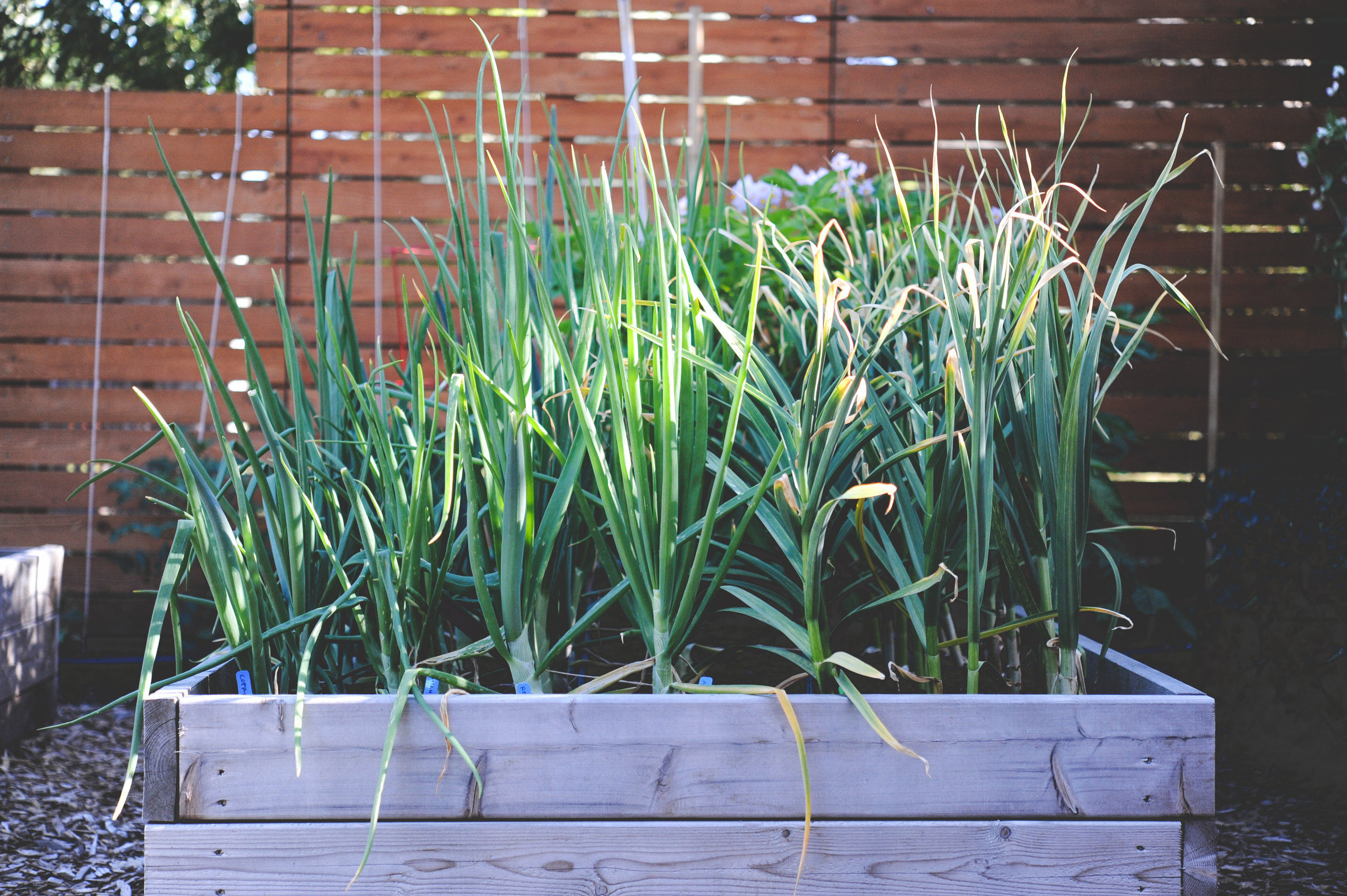 Plants of the onion family