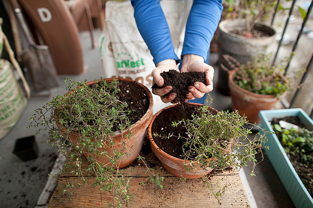 Planting thyme