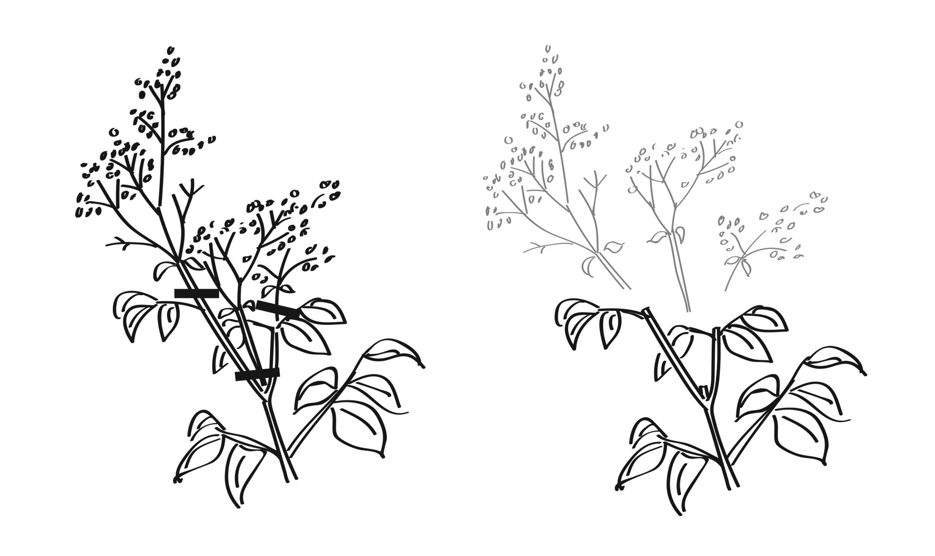 Deadheading - remove spent blooms and seedheads.