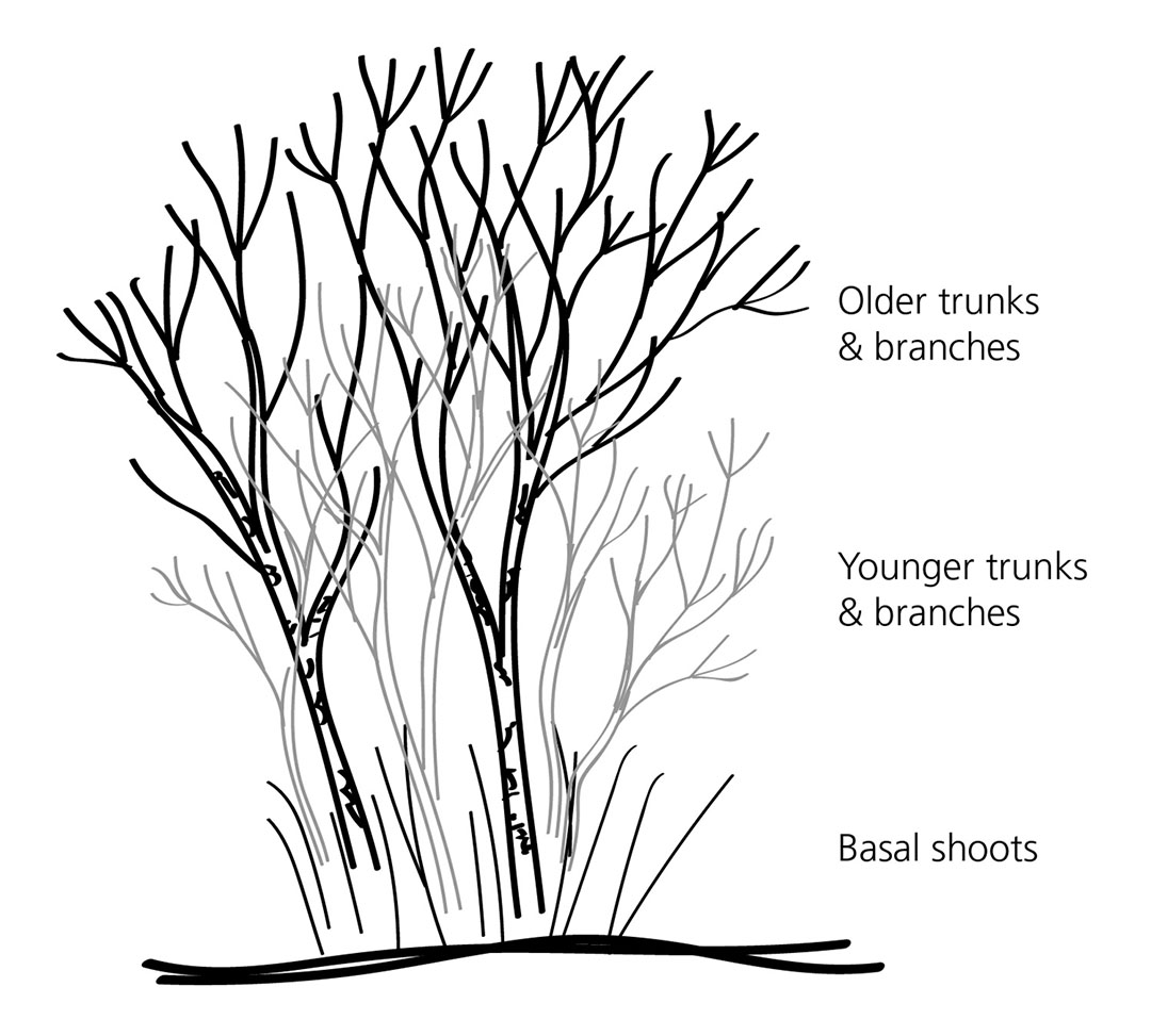 Diagram of our lilac shrub (not including leaves or flowers).