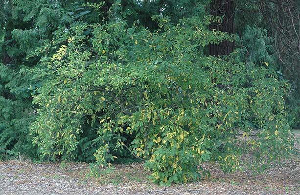 Beginning of fall foliage on Indian Plum (photo: Oregon State University)