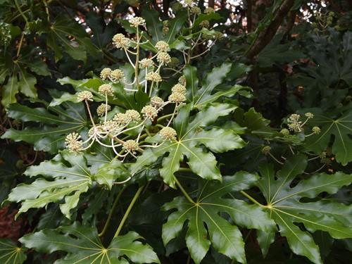 Fatsia Japonica (photo: Great Plant Picks)