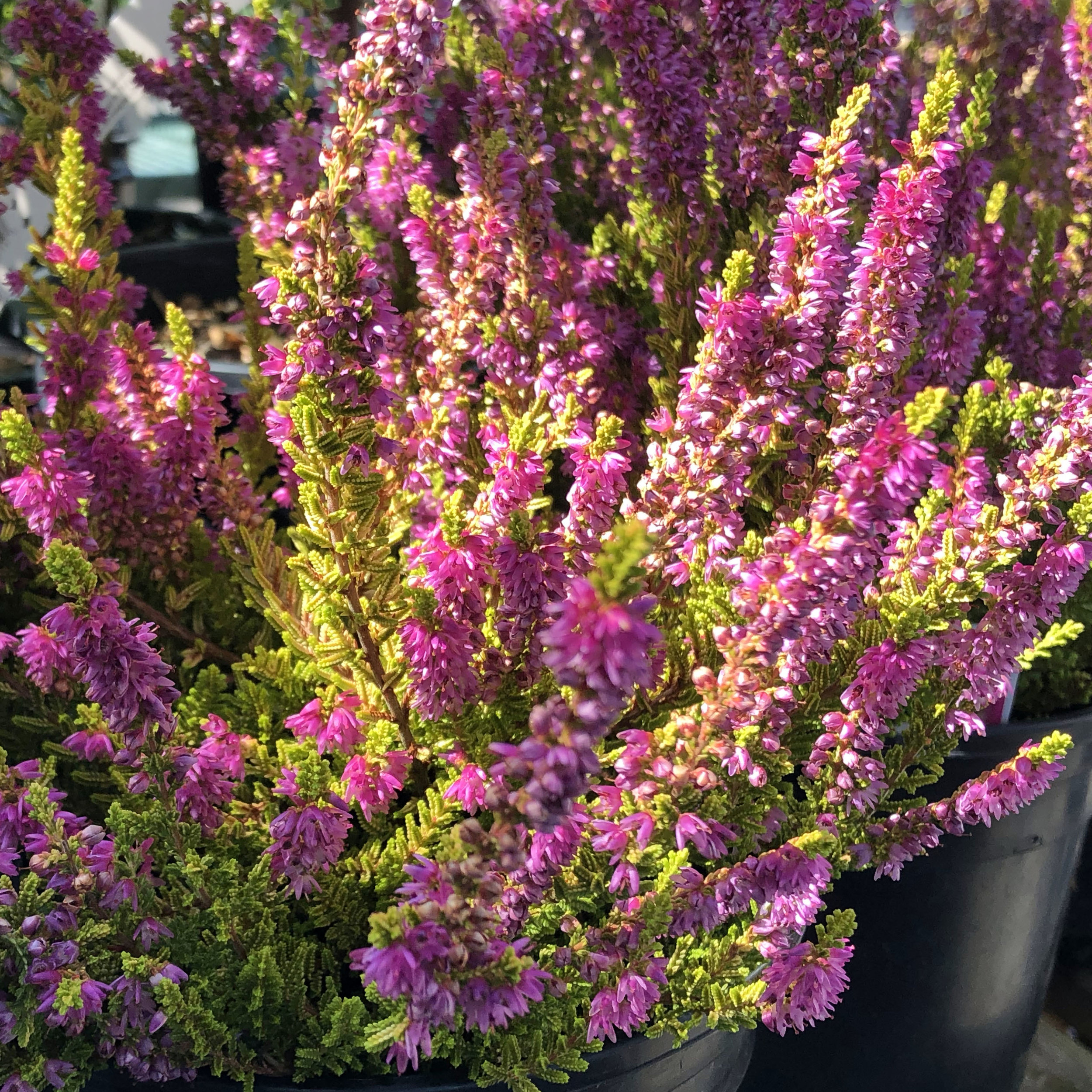 Our Top Picks For September Swansons Nursery Seattle S