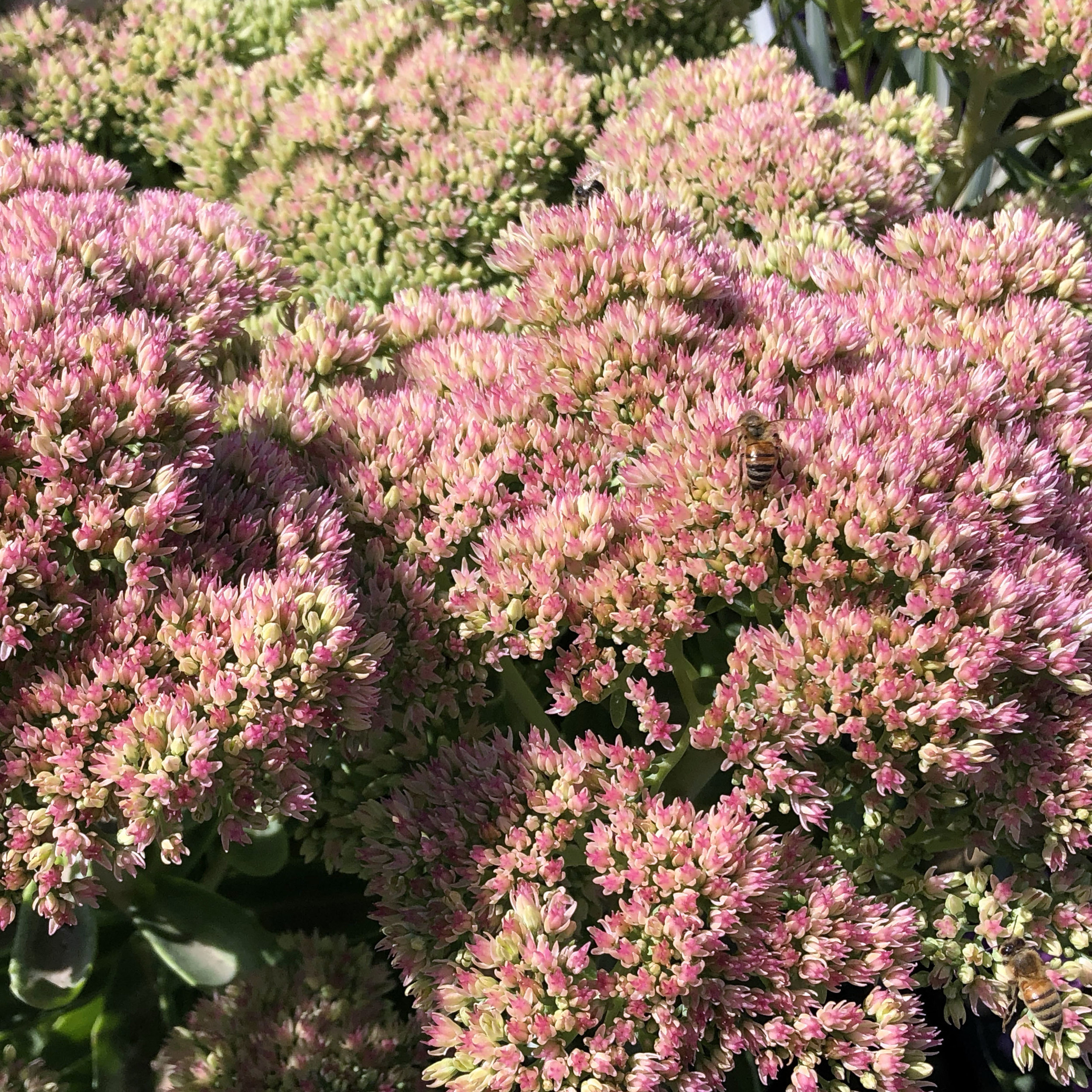 Sedum autumn joy.jpg