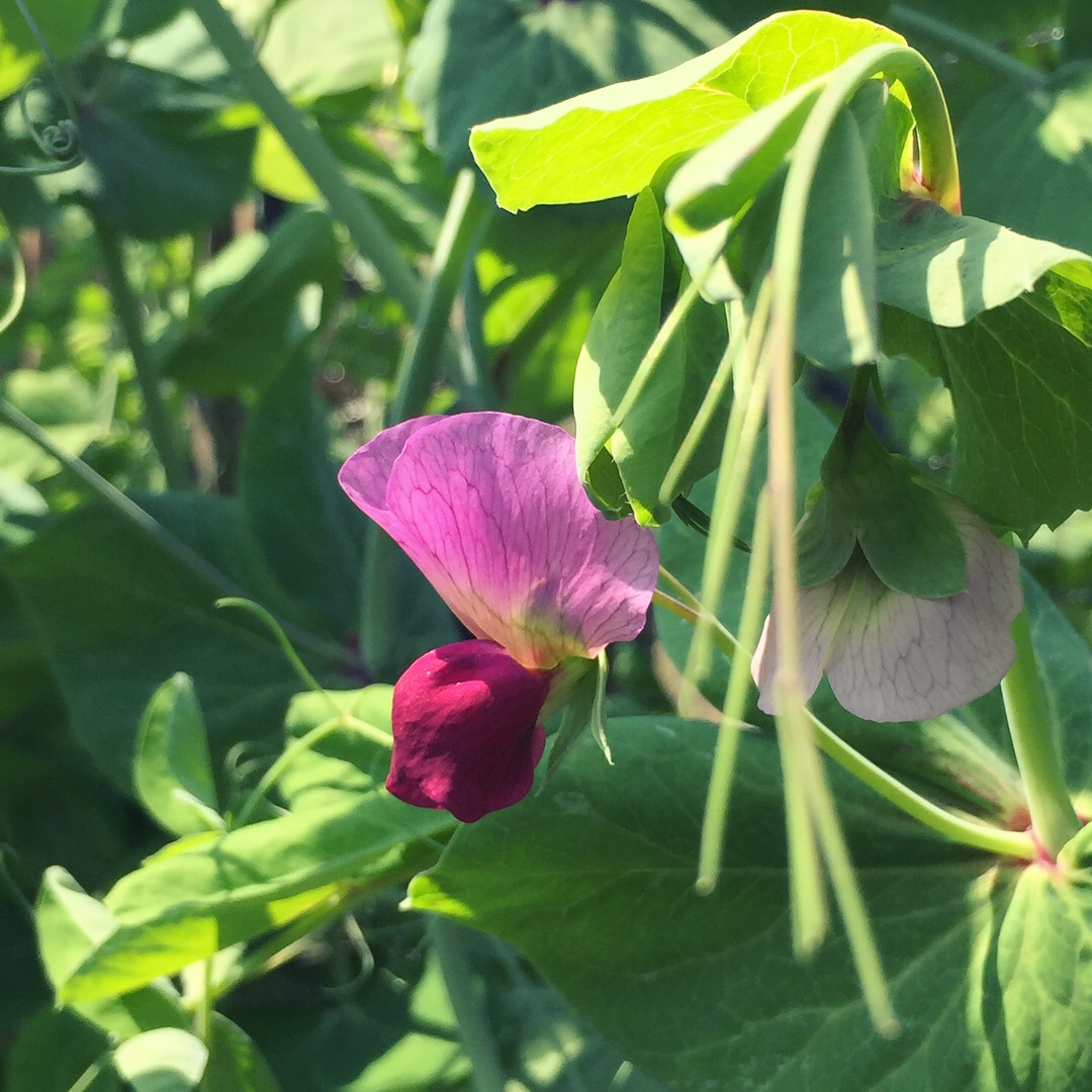 'Magnolia Blossom' Snap Peas have beautiful flowers.
