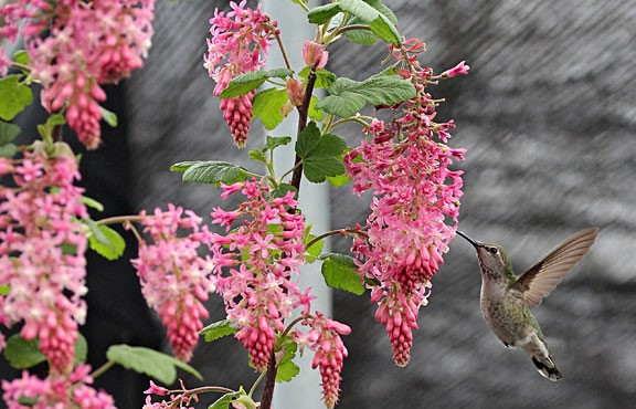 Anna's Hummingbird on Ribes sanguineum  photo: Annie's Annuals