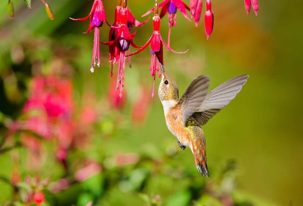 Rufous Hummingbird on Fuchsia  photo: Total Landscape Care