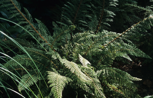 Shield Fern