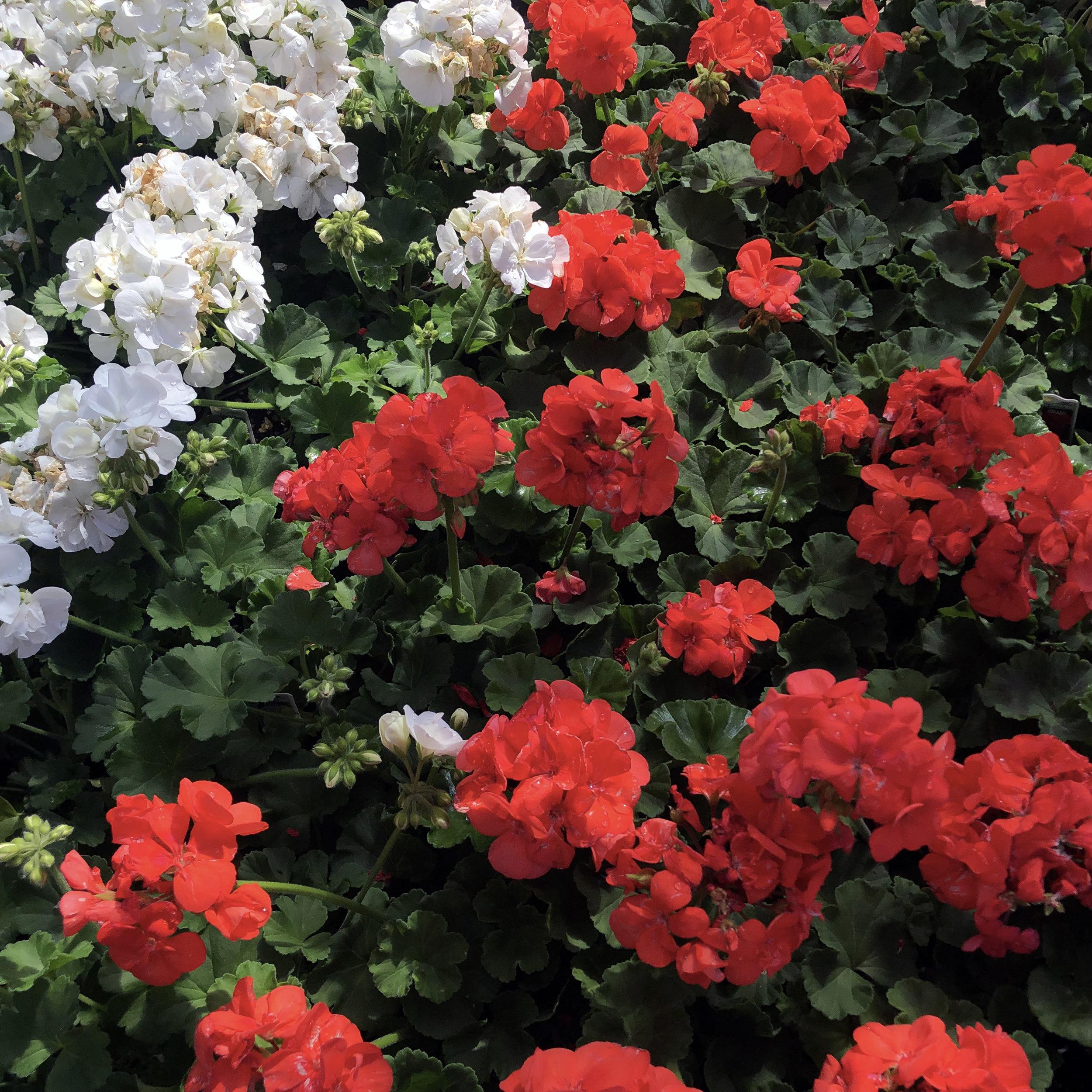 Geraniums_zonal.jpg
