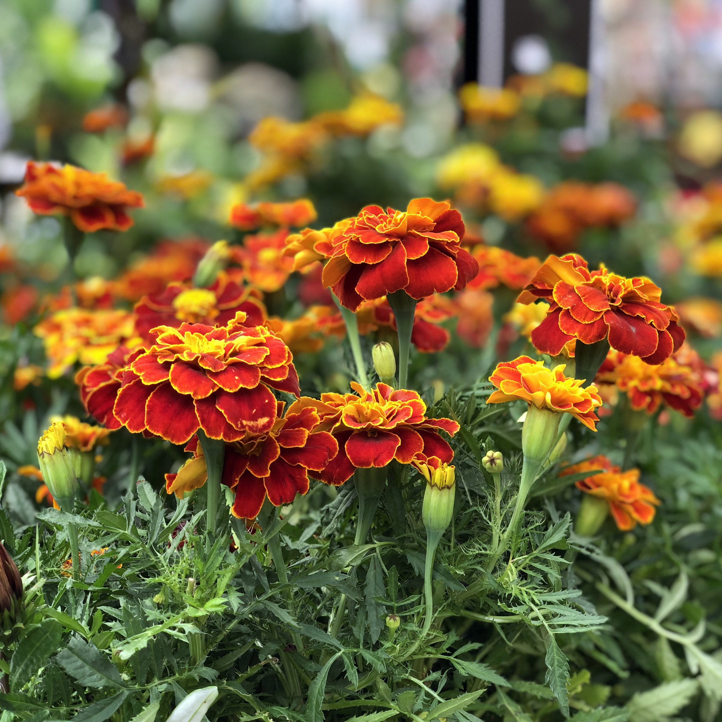 French Marigolds.jpg