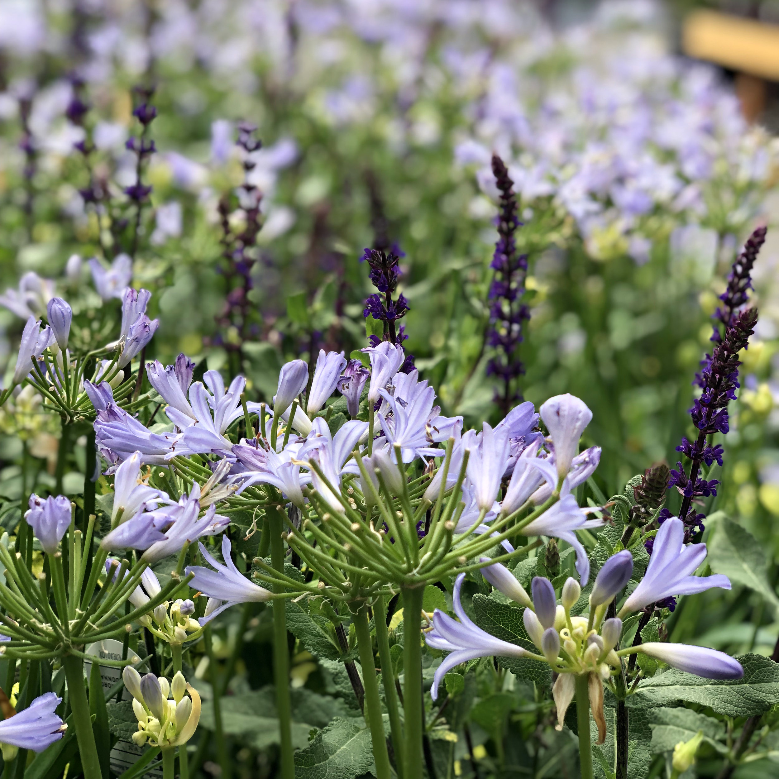 Agapanthus and Salvia.jpg