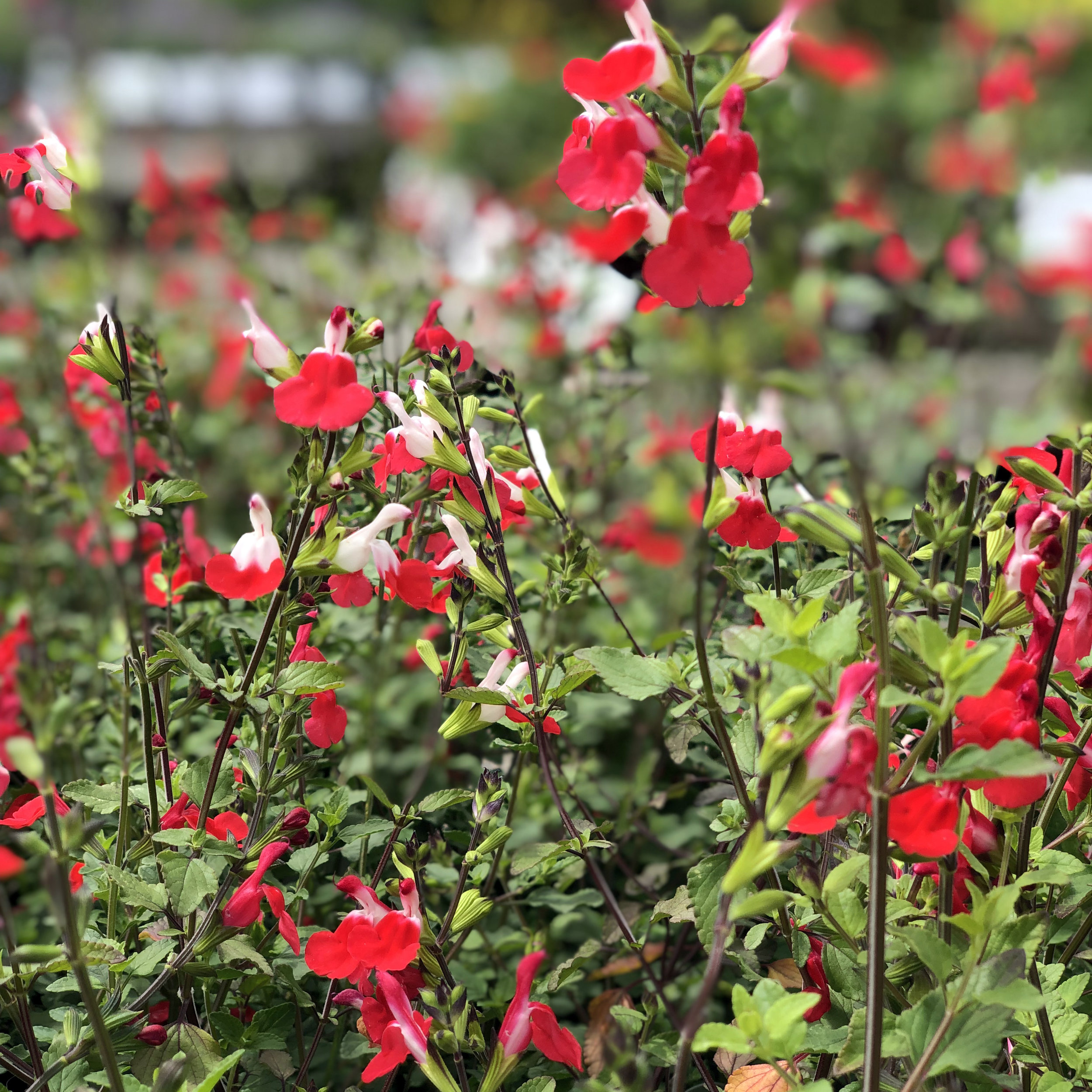 Hot Lips Salvia 2.jpg