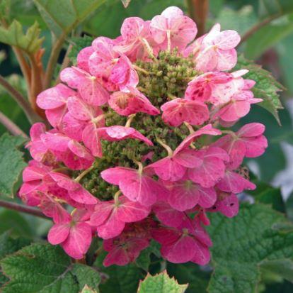 Ruby Slippers flower