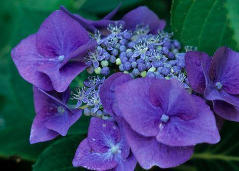 Teller's Blue Hydrangea