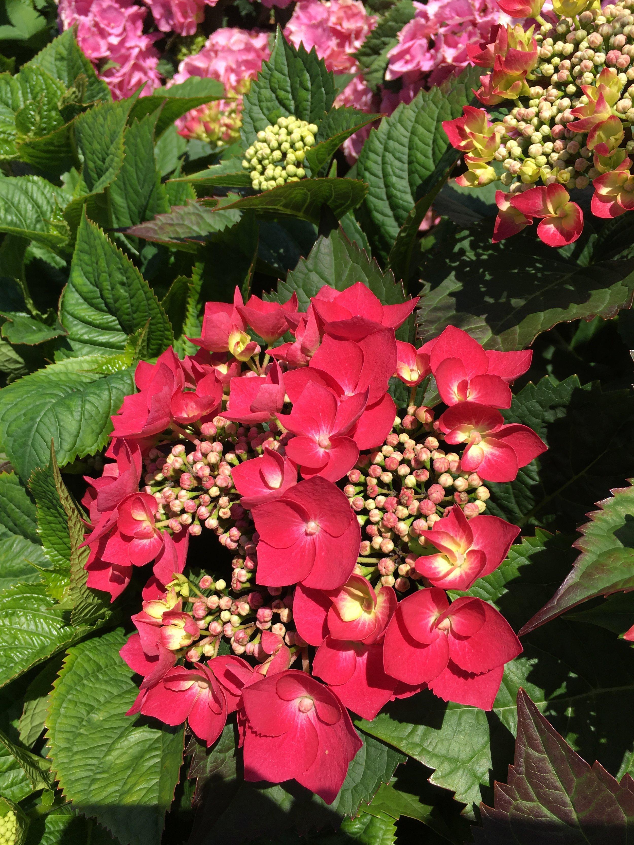 Redwing Hydrangea