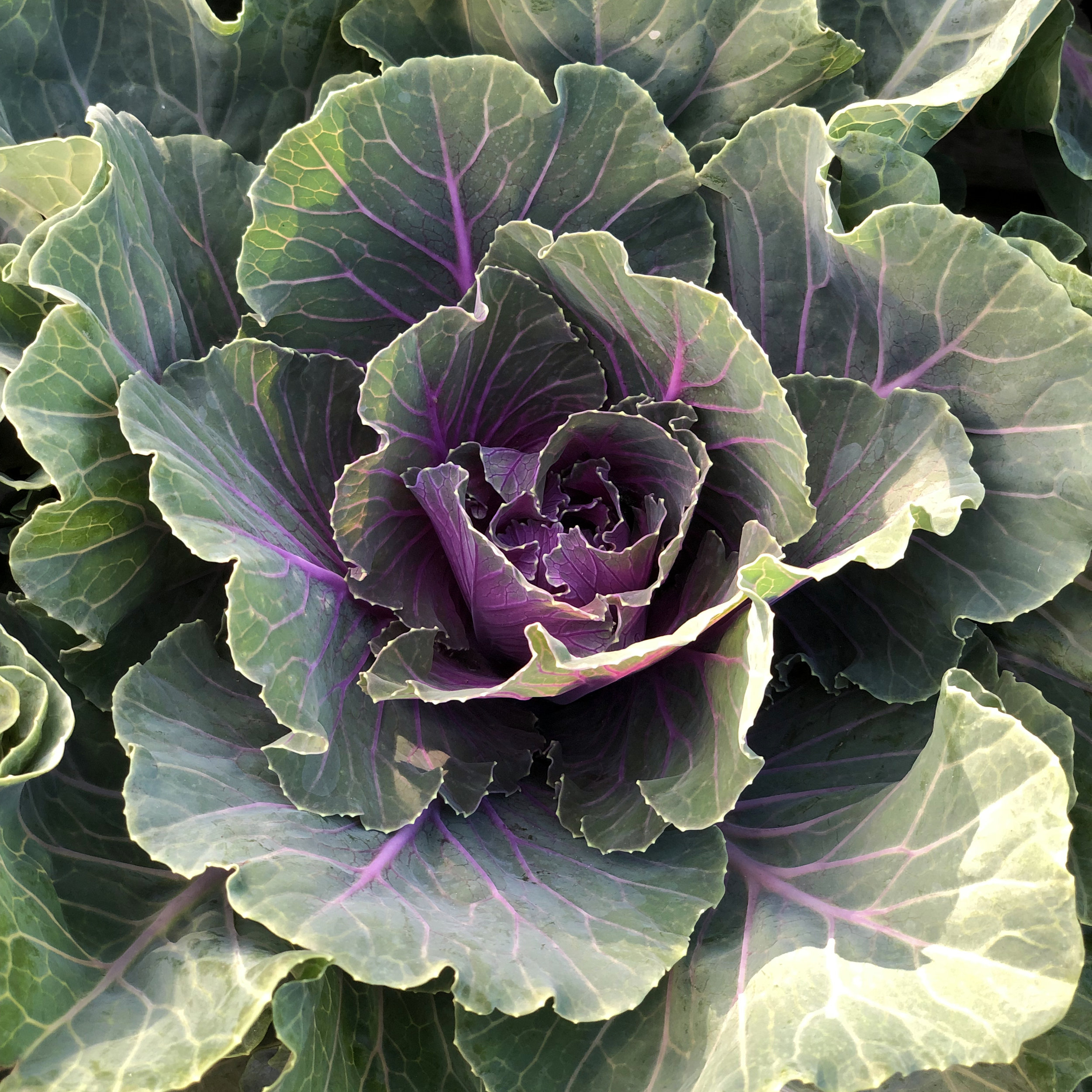 ornamental cabbage.jpg