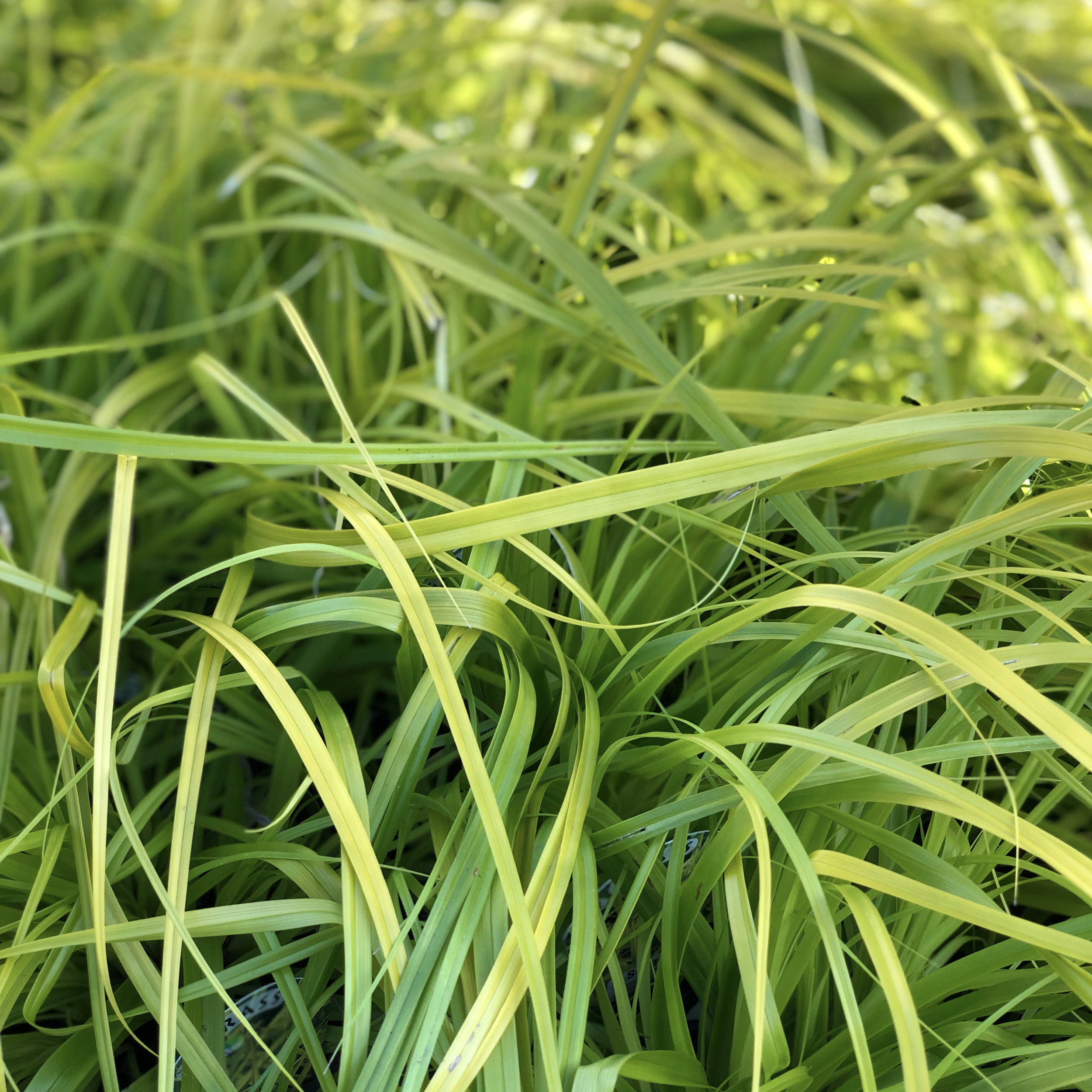 Carex Everillo.jpg