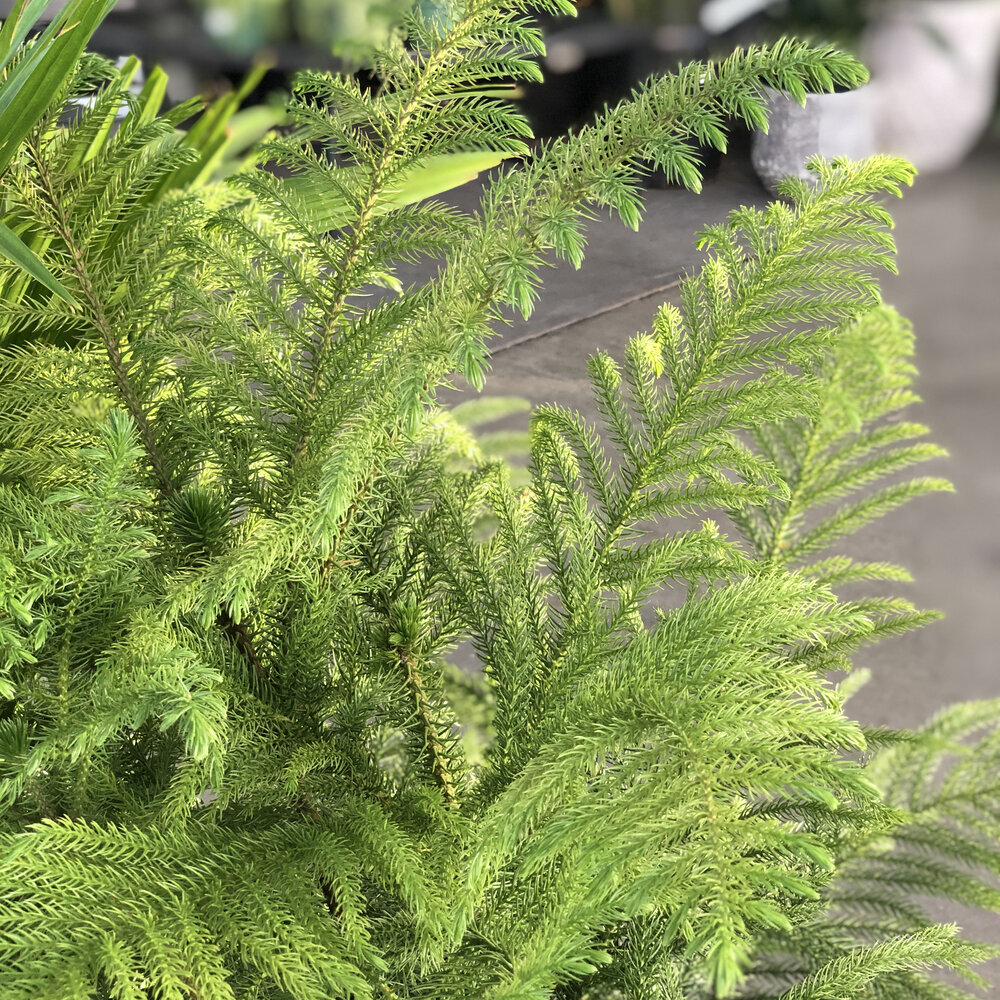 Norfolk Island Pine.jpg