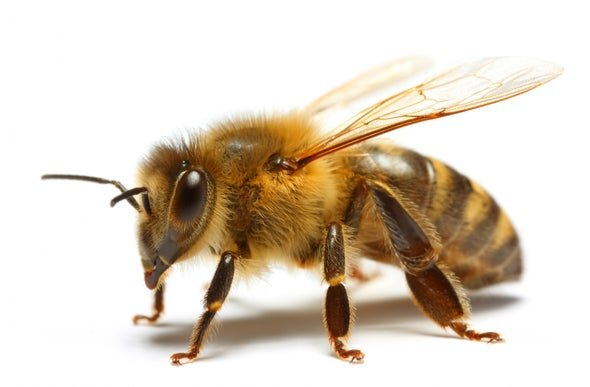 Honeybee Facts Seattle S Favorite Garden Store Since 1924 Swansons Nursery