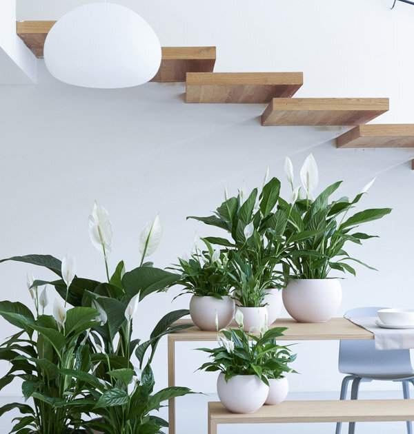 peacelily-joyofplants.uk.jpg