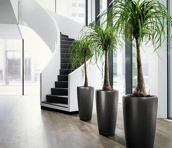 ponytail-palm-thetreecenter.jpg