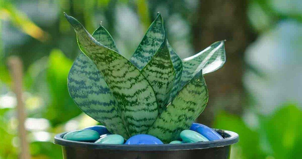 Sansevieria-hahnii-birdsnest.jpg