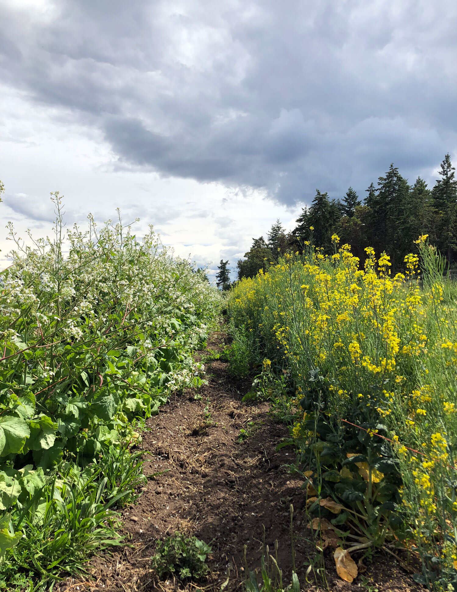 Rows of Brassica flowers