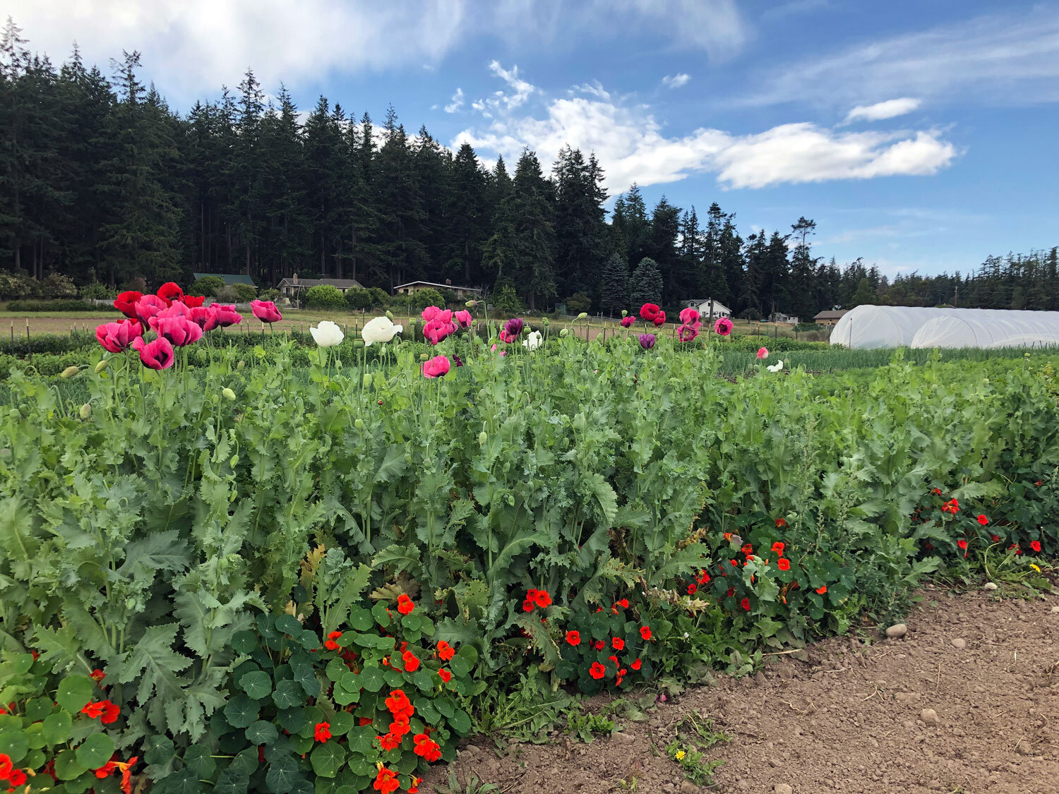 A row of brightly colored poppies and nasturtium