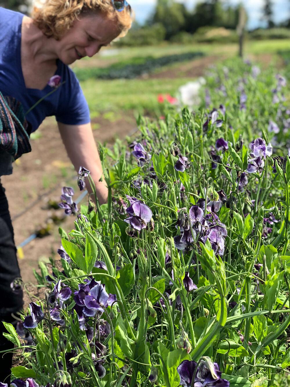 Liane picking bicolor purple and lavender 'Nimbus' sweet peas