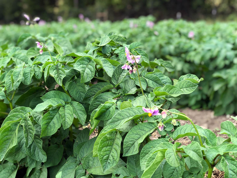 Potato plants beginning to bloom
