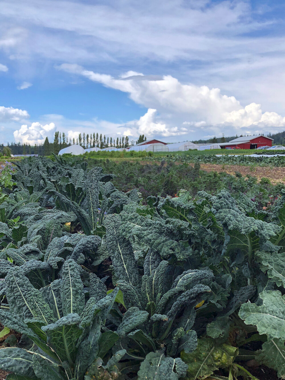 Rows of kale, including 'Lacinato' (aka dinosaur kale) seen in the foreground of the photo.