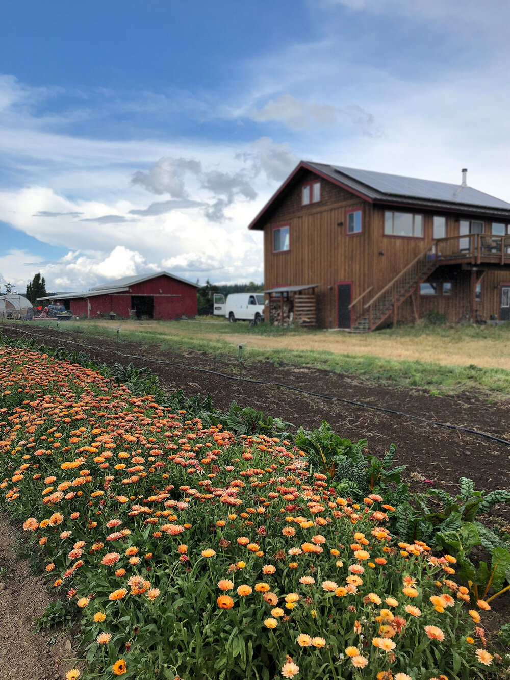 Calendula and a view of the barn and house