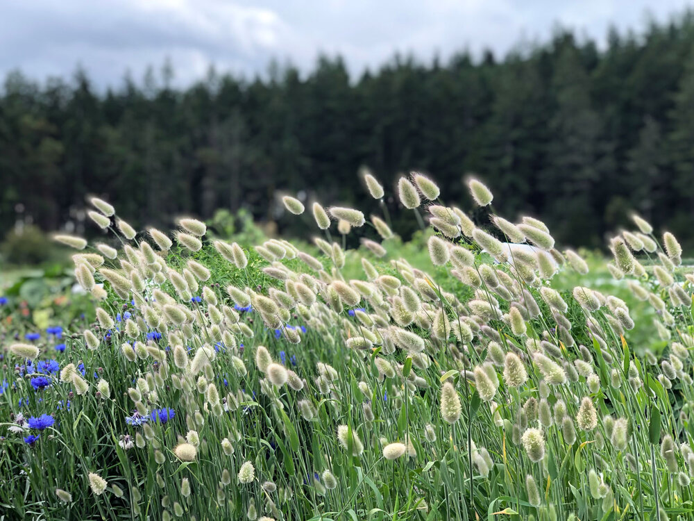 Bachelor's buttons and bunny tails ( Lagurus ovatus)  in the breeze