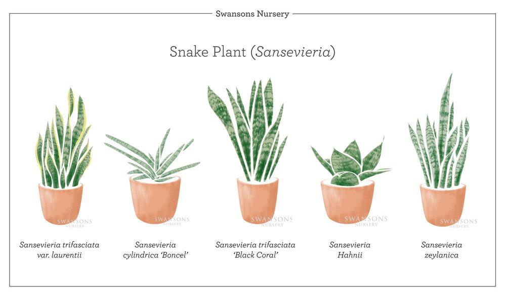 Snake-Plant-Varieties-Illustration.jpg