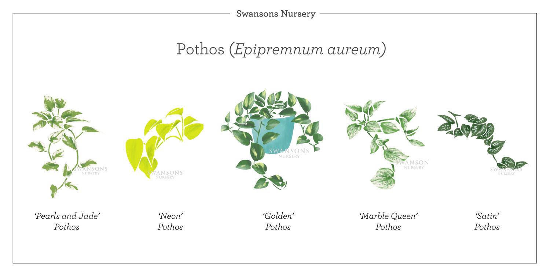 Pothos-Plant-Varieties-Illustration.jpg