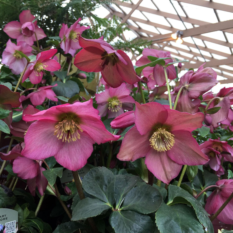Rosemary-Pink-Hellebore.jpg