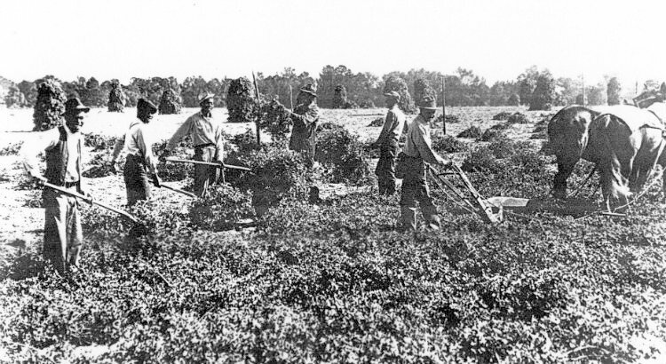Farming Peanuts