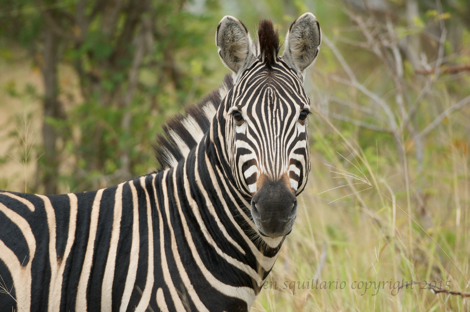 One of the zebra we saw on that drive dazzling us with its stare.