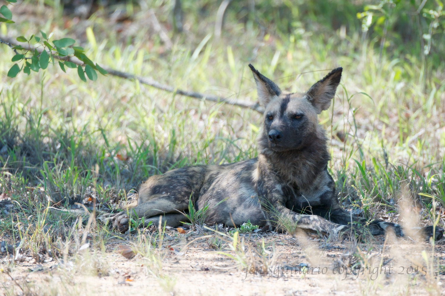 Every sighting of this rare animal is special.  Ian and I have been very lucky to have seen wild dogs on multiple occasions.