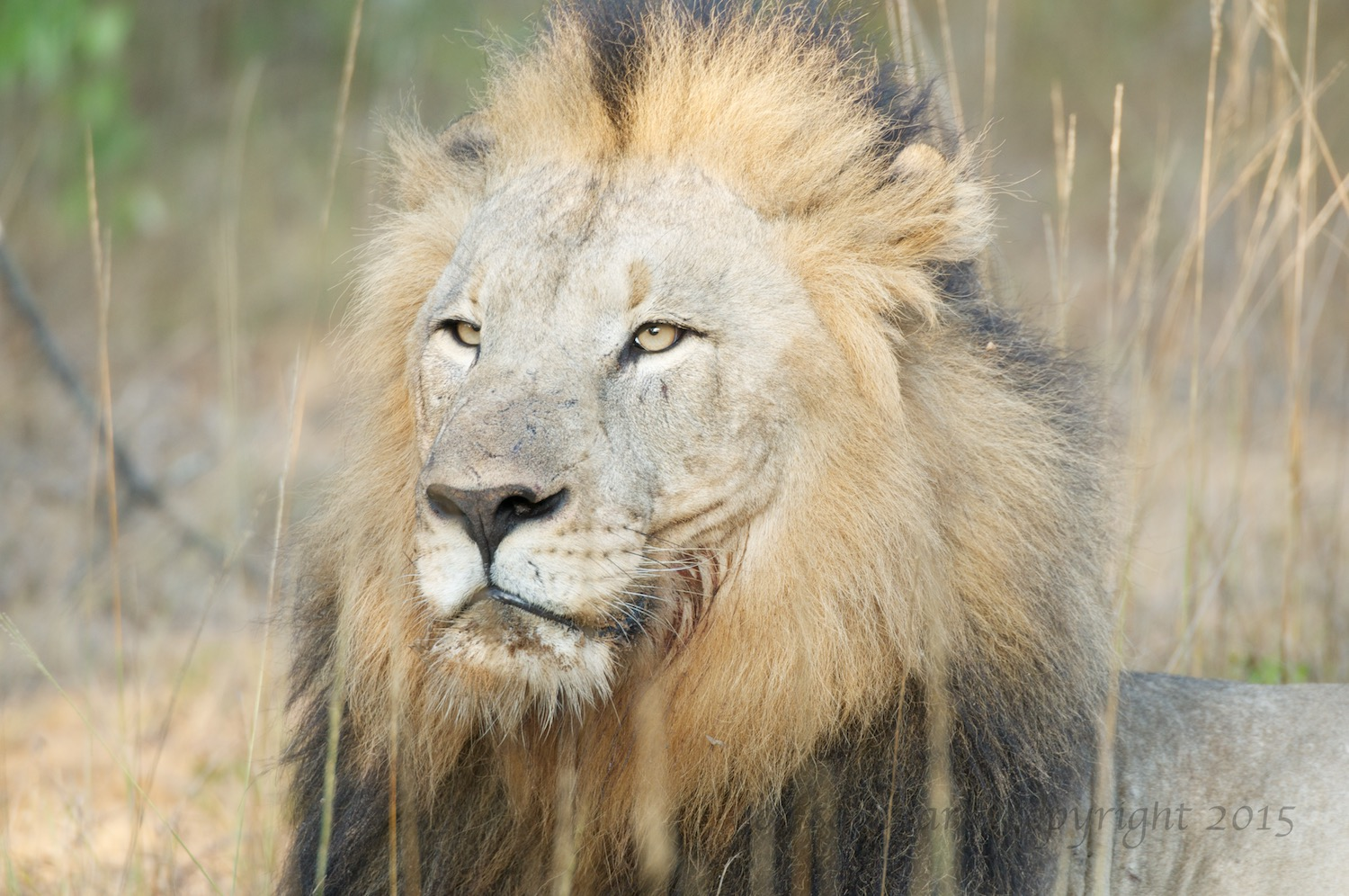 A full lion with a bit of leftovers on his chin.