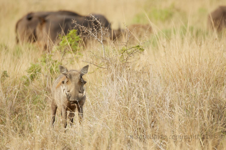 Warthog Looking