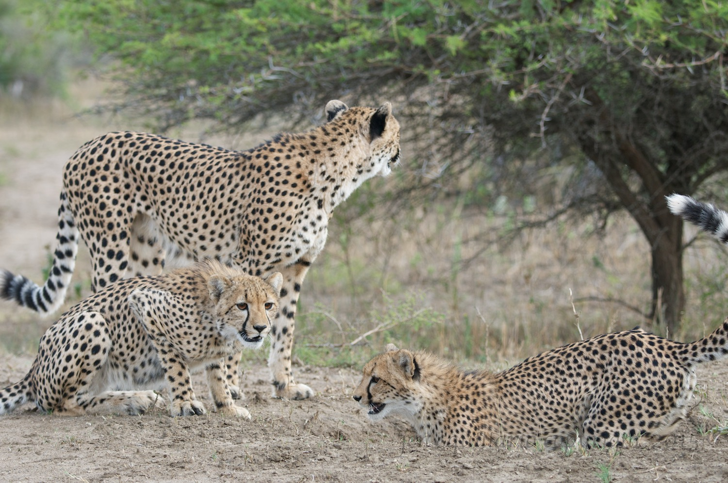 The young cheetah look down the hole for their scrub hare.