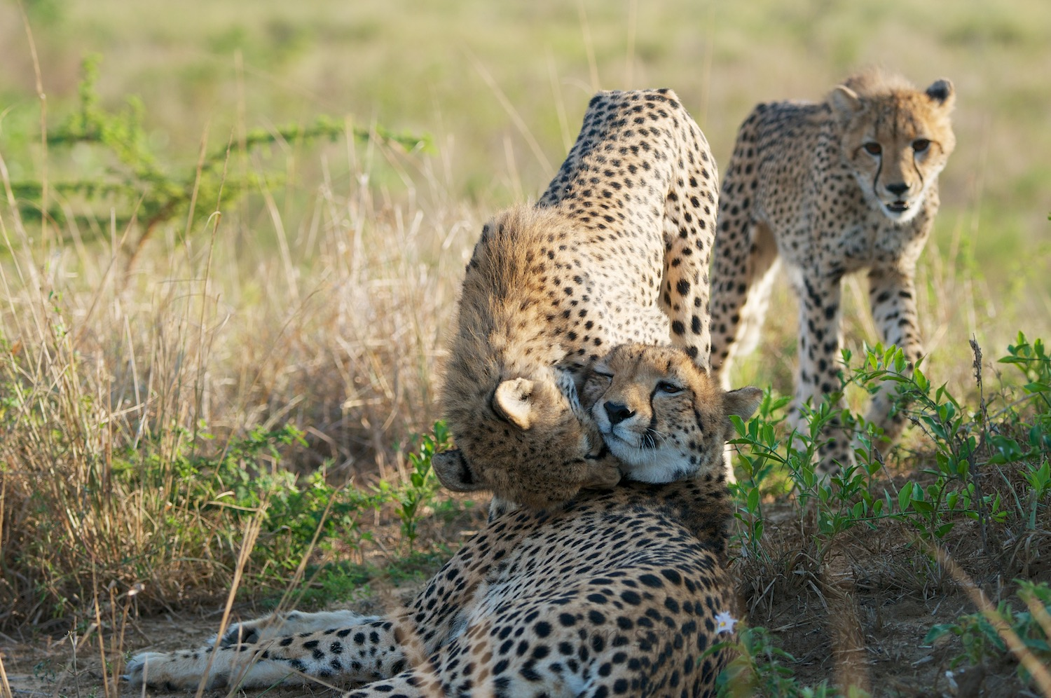 Mom resting while being reminded that her cubs were still hungry.