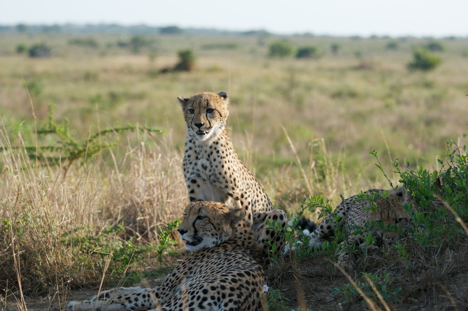 Cheetah cub spots the wildebeest herd.